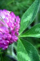 Clover Flower by Holly6669666