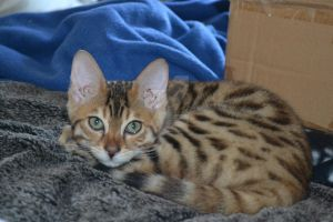 Rameses, my new bengal kitten VI by Spiremagus-Esquire