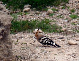 Hoopoe by awjay