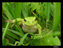 Little green frog by Adomes
