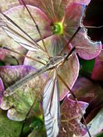 CRANEFLY by iriscup