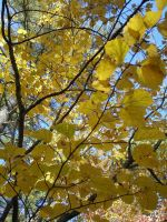 Yellow Leaves by Archer-1