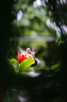 Humming bird by lucianoW