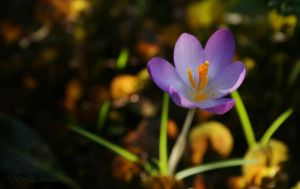 crocus in light and shadow by Nexu4