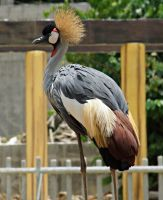 Grey Crowned Crane by a6-k