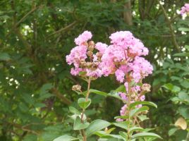 Pink Crape Myrtle flowers by celticpath