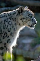 Snow leopard into the light by Seb-Photos