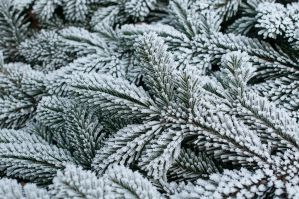 Fir Branch covered with Frost by enaruna
