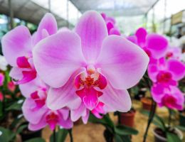 orchid2 by RoseCS