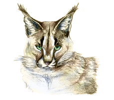 Caracal by Psunna