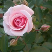 Pink rose 7 by SabakuNoShi