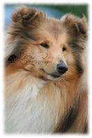 Rough Collie Head Study by PencilPetPortraits