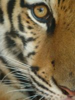eye of a tiger by silvazelover2
