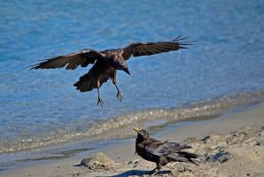 Costal Crows by Momenti-Photo