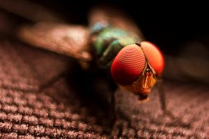 Green bottle fly by frutor83