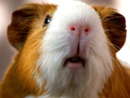 Cute guinea pig 2 by LadyAyslinn