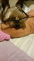 My Yorkie-Tilly by P1ggyLover