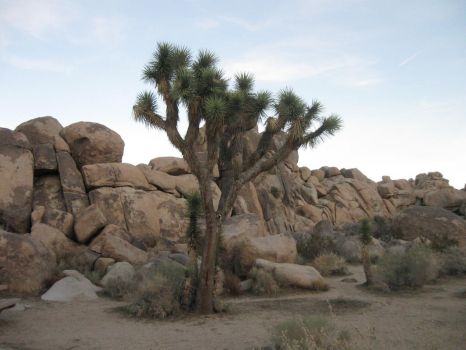 Joshua Tree by scholarwarrior-lad