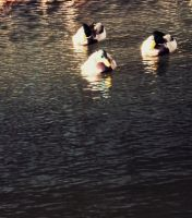 Little Ducks by AmieLouisePhotograph