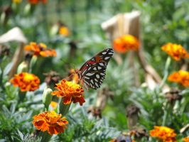 Butterfly Marigold by Mongrel-Photography