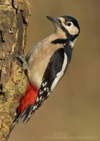 Great Spotted Woodpecker by Albi748