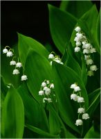 lily of the valley in the forest by SvitakovaEva