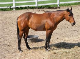 Quarter Horse 41 by EquineStockImagery