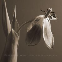 Wilting Tulip Sepia-ish by grovermatic