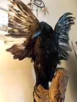 Leucistic Carrion Crow(taxidermy) -Stock by ForestWanderers