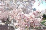 Smithsonian Cherry and Magnolia Blossoms by Ginesthoi