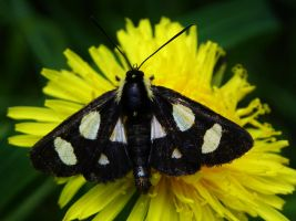 Eight Spotted Forester Moth by Stone1980
