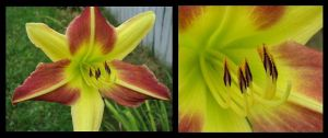Pieces of Lily by picworth1000wrds