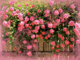 Pink Roses Background by RossLana