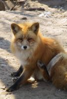 Red Fox 09 by FoxRAGE-Stock