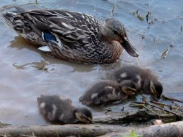 mama and baby ducks 3 by friendlyearthworm
