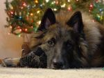 Bandit under the Christmas tree by ponygirl0316