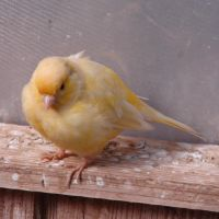 Little Yellow Birdie 2 by FantasyStock