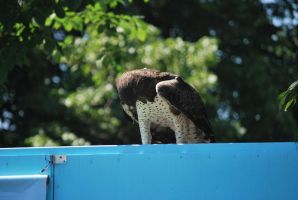 martial eagle 1.4 by meihua-stock