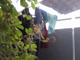 IRL Photos - Cross Spider by SyncedsArt