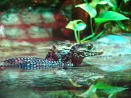 Baby Caiman by abuseofstock