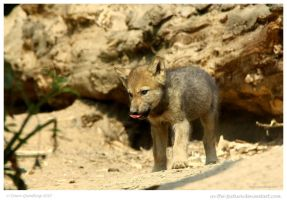 Wolf Cub by In-the-picture