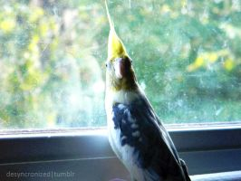 Bernie the Cockatiel 1 by MOGGGET