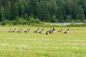 Flock of Wild Geese by duncan-blues