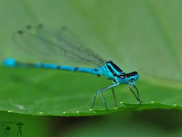 Blue dragonfly by morpheus880223