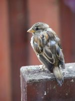 New Zealand Sparrow by carlusdarienus