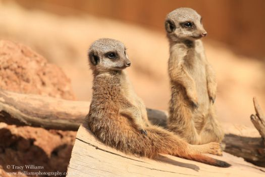 Meerkat Pups by twilliamsphotography