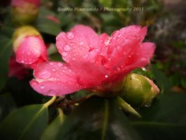 Raindrops and Camellia by Princess-Suki-W
