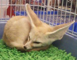 Fennec fox by sudro