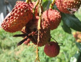 Hornets insects like lychee by AnaTaffy