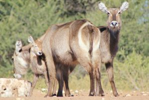 Waterbuck - African Wildlife - Loving Mom by LivingWild